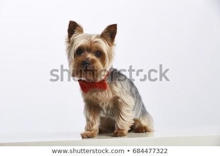 Silhueta adorável yorkshire terrier isolado Foto stock © vauvau
