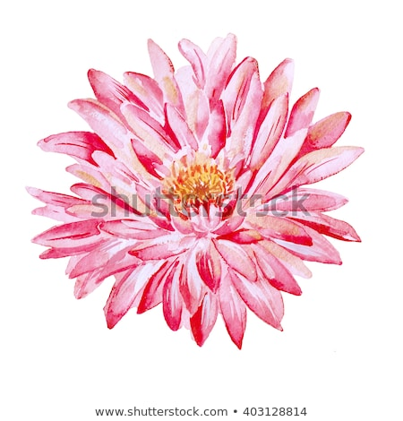 roze · dahlia · bloesem · mooie · tuin · bloem - stockfoto © frankljr