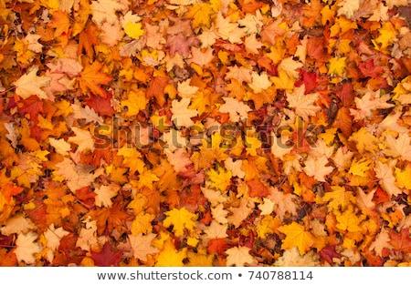 ストックフォト: Bunch Yellow Autumn Maple Leaves Tree