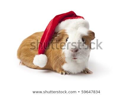 kobay · Noel · şapka · çok · güzel · siyah · beyaz · yalıtılmış - stok fotoğraf © feedough