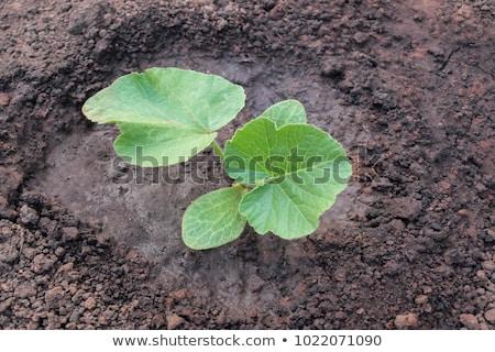 カボチャ · 苗 · 白 · 農業 · 新鮮な · 土壌 - ストックフォト © vtorous