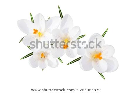 Bahar çiğdem yalıtılmış beyaz mor çiçek Stok fotoğraf © neirfy
