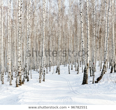 ストックフォト: Ski Run In A Winter Birch Forest