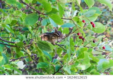 çizgili sincap ağaç kahverengi tırmanma orman gözler Stok fotoğraf © Elenarts