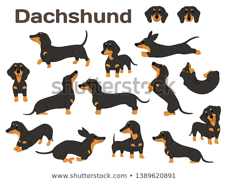 такса собака портрет черный коричневый Сток-фото © stevanovicigor