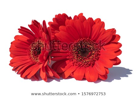 Beautiful red gerbera on the white Stock photo © posterize