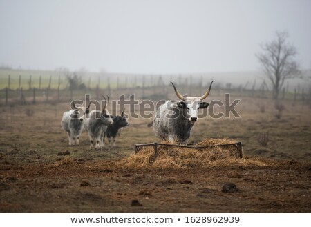 Hongaars grijs vee traditioneel koeien Hongarije Stockfoto © samsem
