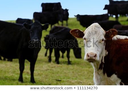 vacche · guardando · cielo · natura · mucca - foto d'archivio © sherjaca