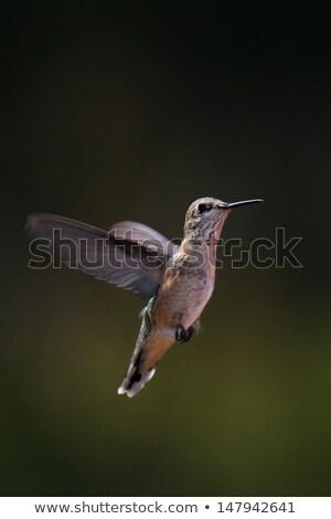 Közelkép kolibri repülés kép repülés madár Stock fotó © jkraft5