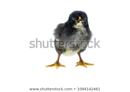 Chicken Hen Isolated Stock photo © Lightsource