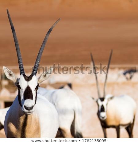 gemsbok stock photo © dirkr