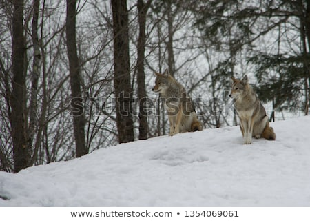 пару синий зима небе животные Сток-фото © stevanovicigor