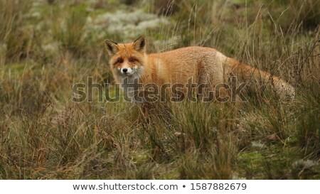 Grande Fox estilizado rojo cabeza mascota Foto stock © HunterX