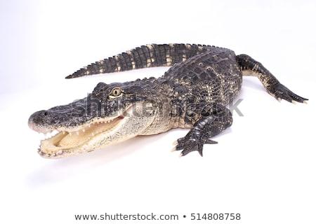 aligátor · fej · közelkép · vad · szem · fű - stock fotó © chris2766