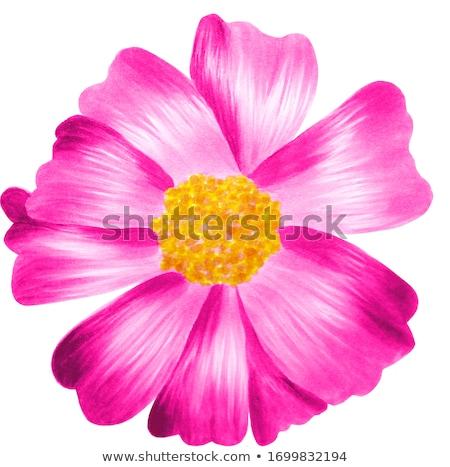 Pink Cosmos flowers isoleted Stock photo © stoonn