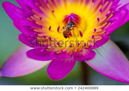 Bees in waterlily Stock photo © smithore