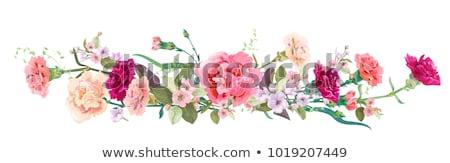 pembe · karanfil · çiçekler · sınır · yalıtılmış · beyaz - stok fotoğraf © neirfy