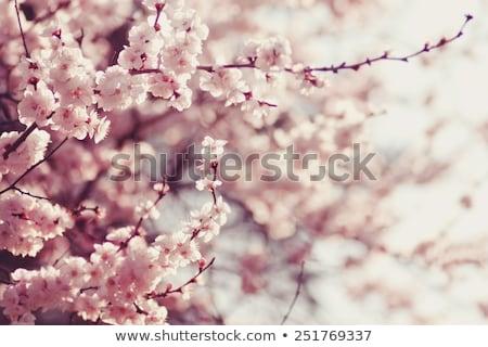 Spring garden closeup flowers blooming cherry trees Stock photo © fotoaloja