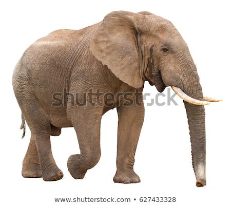Elefante africano isolado grande para cima ar cheiro Foto stock © fouroaks