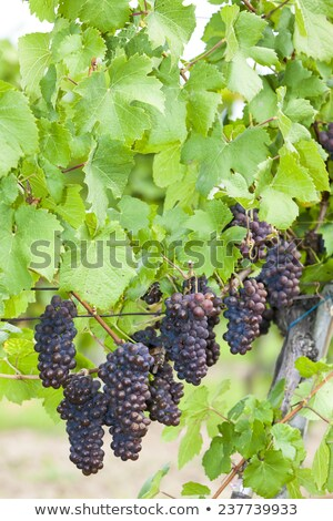 grapes in vineyard pinot gris southern moravia czech republi stock photo © phbcz