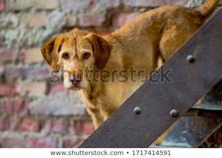 Portrait of  Hungarian Wire-haired Pointer Stock photo © CaptureLight