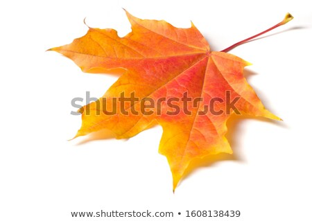 Red maple leaf and brown oak leaf Stock photo © Nobilior