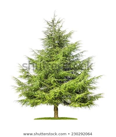 Isolado cedro árvore branco grama madeira Foto stock © Zerbor