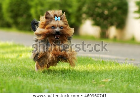 mini yorkshire terrier pup playing Stock photo © morrbyte