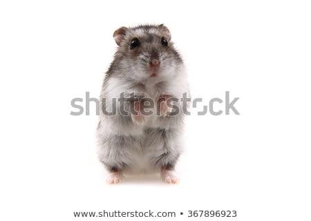Klein hamster geïsoleerd witte muis dier Stockfoto © jonnysek