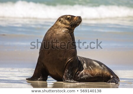 sea lion relaxing at the coast Stock photo © meinzahn