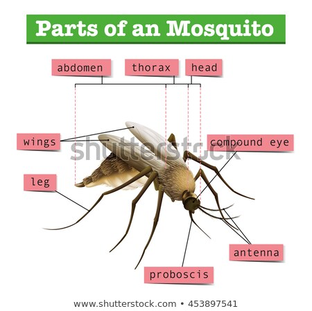 Different parts of mosquito Stock photo © bluering