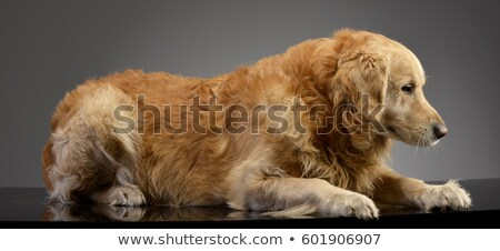 Golden Retriever lying in the studio with gray background Stock photo © vauvau