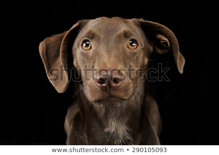 Stock photo: beautiful flying ears mixed breed dog portrait in black backgrou