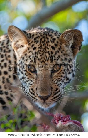 Leopard with a Duiker kill. Stock photo © simoneeman