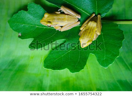 Two green frogs on sunflower tree Stock photo © bluering