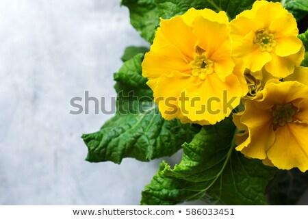 цветы · примула · желтый · фиолетовый · весны - Сток-фото © jonnysek