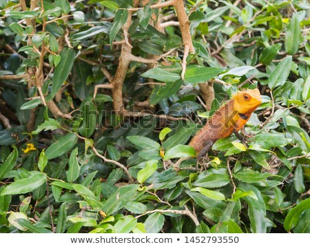 Foto stock: Camaleão · grande · borda · parede · antigo · Sri · Lanka
