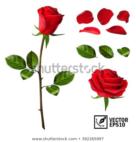 Conjunto rosa vermelha flor broto folhas isolado Foto stock © orensila
