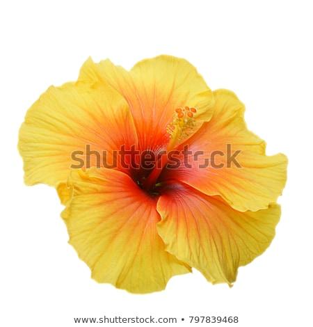 Citromsárga hibiszkusz kettő virág növény trópusi Stock fotó © Digifoodstock