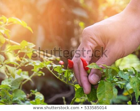 Freshly Picked Chili Peppers Stock photo © spanishalex