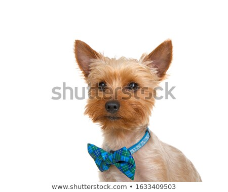 cute little yorkshire terrier puppy with blue collar Stock photo © feedough