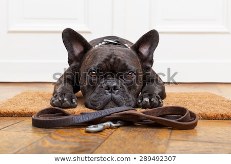 Stock photo: French bulldog with leash lying