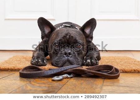 Francés bulldog correa fondo negro color Foto stock © OleksandrO