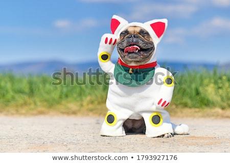french bulldog with raised paw stock photo © oleksandro