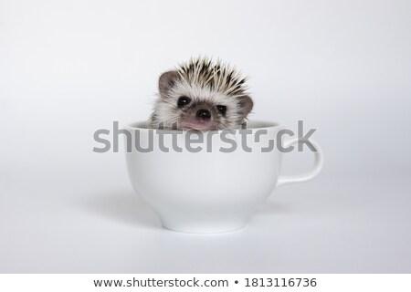 baby hedgehog in studio Stock photo © cynoclub