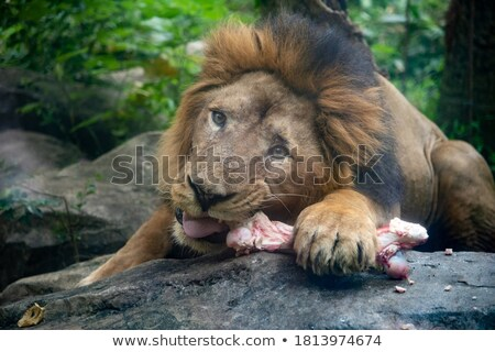 Cute Carnivore Lion Holding Bone Stock photo © lenm