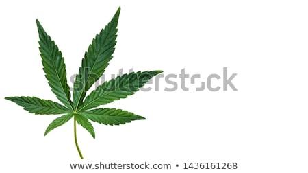 大麻 · 葉 · マリファナ · 孤立した · 白 - ストックフォト © bdspn