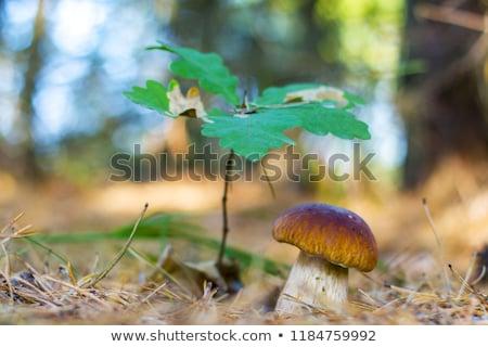 Branco pequeno carvalho cogumelo crescente boletos Foto stock © romvo