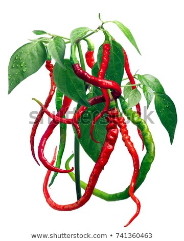 Bangalore whippet's tail chile pepper plant, paths Stock photo © maxsol7