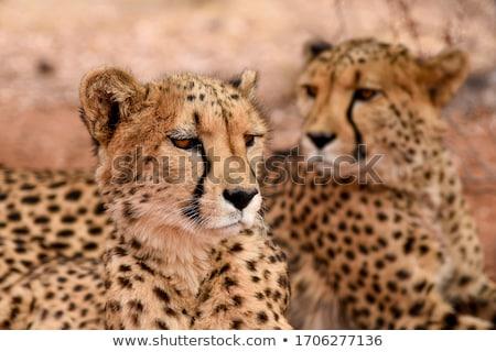Cheetah in Namibia Stock photo © prill